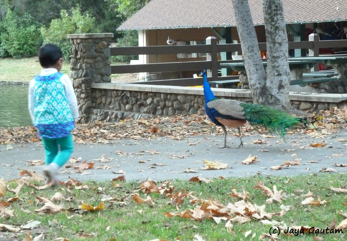 Girl chases a peacock in Irvine Park