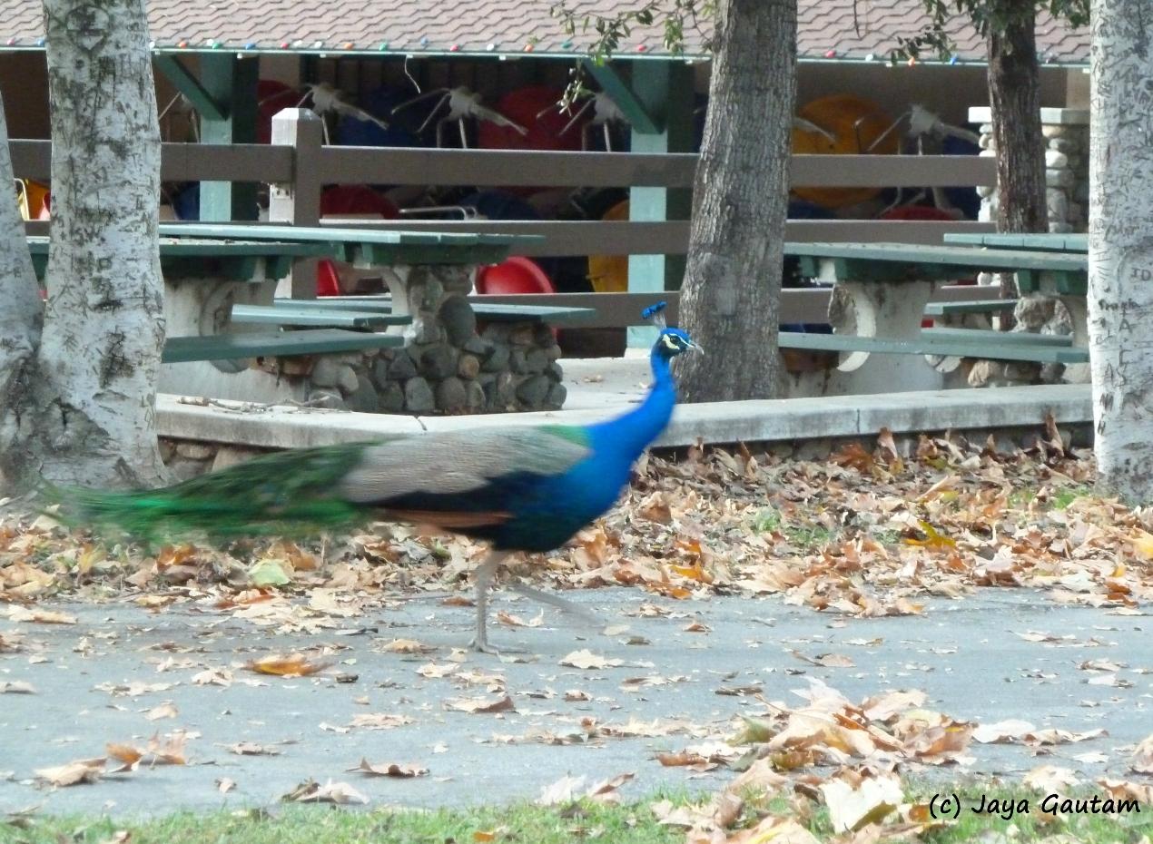 Peacock flees girl in Irvine Park