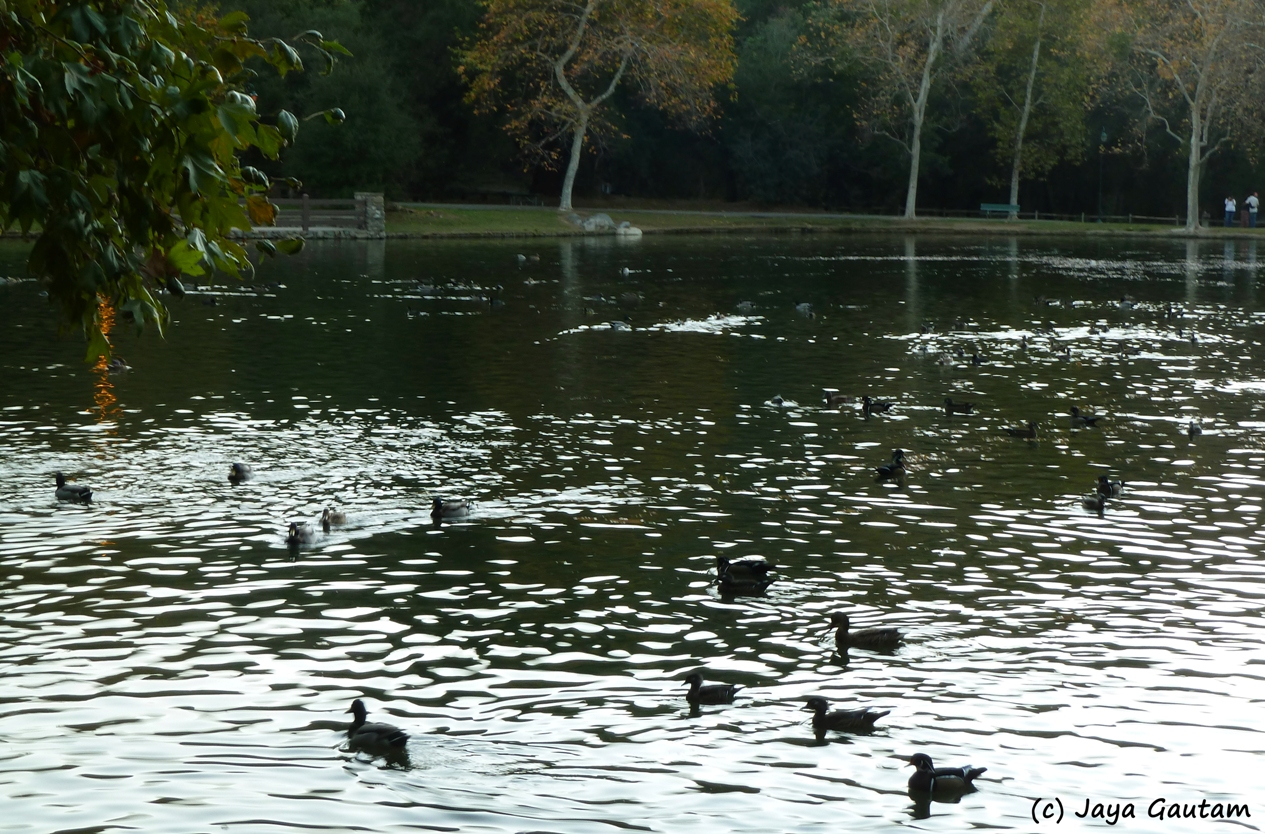 Evening ripples and ducks on the pond